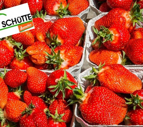 Erdbeerzeit auf Hof Schütte